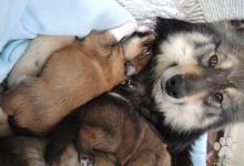 Inzercia psov: Krížené šteniatka Lapinkoira