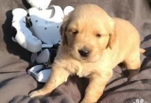 Inzercia psov: Zlatý retriever - šteniatka