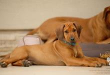 Inzercia psov: šteniatko ridgeback psík