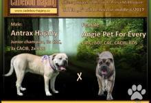 Inzercia psov: Perro de Presa Mallorquin – Cadebou