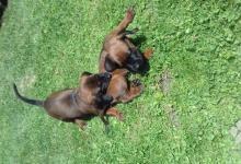Inzercia psov: Predám čistokrvné šteniatka Bavorského farbiara
