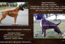 Inzercia psov: Šteniatka nemeckého boxera s PP
