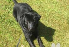 Inzercia psov: Labrador čistokrvný 20mesačný