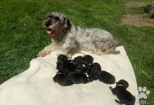 Inzercia psov: Štěňata střední knírač pepř a sůl