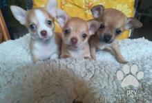 Inzercia psov: Čivava krátkosrstá