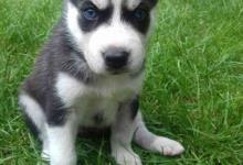 Inzercia psov: Predam sib husky šteniatka