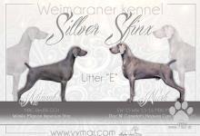 Inzercia psov: Štěňata výmarský ohař krátkosrstý