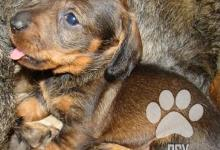 Inzercia psov: Jazevčík hrubosrstý trpasličí