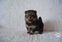 Inzercia psov: Nemecký špic malý s PP