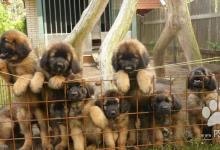 Inzercia psov: Štěňata Leonbergera