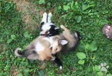 Inzercia psov: Veľmi spoločenské Kolie na predaj