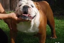 Inzercia psov: Anglický buldog -bulldog