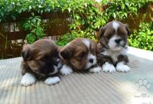 Inzercia psov: šteniatka Lhasa apso