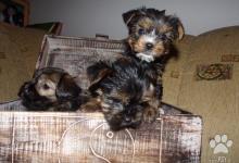 Inzercia psov: MINI YORKSHIRSY TERIER
