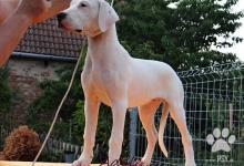 Inzercia psov: Nádherné fenky Argentinské dogy