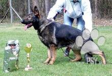 Inzercia psov: Německý ovčák s průkazem původu