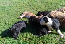 Inzercia psov: šteniatka Pitbulla