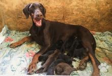 Inzercia psov: Doberman šteňatá