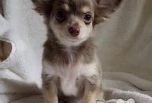 Inzercia psov: Čivava Pes na krytie s PP