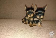 Inzercia psov: Psík mini yorkshirsky terier