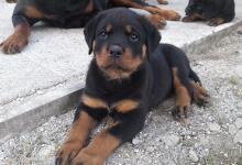 Inzercia psov: Rottweiler/ rotvajler / - šteniatka s PP