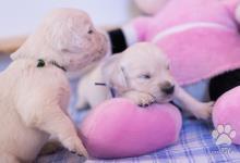 Inzercia psov: šteniatka Zlatého retrievera s pp