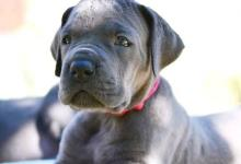 Inzercia psov: Německá Doga Modrá
