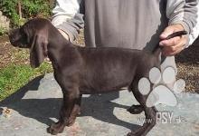 Inzercia psov: Štěňata německého krátkosrstého ohaře