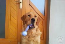 Inzercia psov: Ponúkam na krytie  Zlatého retrívera