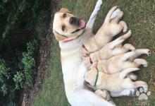 Inzercia psov: Predám fenky Labradora