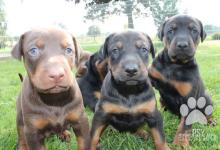 Inzercia psov: Predám šteniatko dobermana