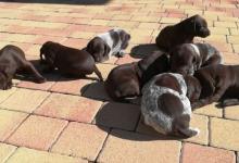 Inzercia psov: Šteniatka Nemeckého krátkosrstého stavača (NKS)