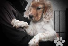Inzercia psov: Anglický setr - štěňata s PP