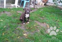 Inzercia psov: predam šteniatko fenku amstaff