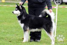 Inzercia psov: Aljašský malamut - štěňátka s PP