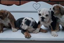 Inzercia psov: Nadherné šteniatka anglického buldoga