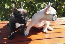 Inzercia psov: Francúzsky buldoček blue fawn a čierno žíhaný ay/a