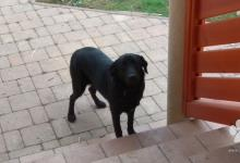 Inzercia psov: Darujem Labrador