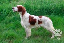 Inzercia psov: Irský červenobílý setr štěňata s PP