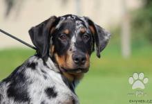 Inzercia psov: Beauceron – štěňátka