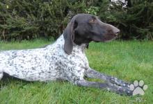 Inzercia psov: Německý krátkosrstý ohař