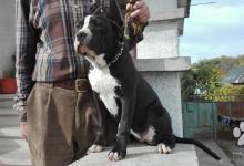 Inzercia psov: Americký stafordširský teriér
