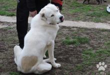 Inzercia psov: šteniatka stredoázijský ovčiak SAO