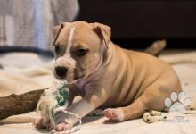 Inzercia psov: Predam steniatka stafforda