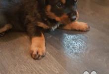 Inzercia psov: Německé Rottweiler štěňátka