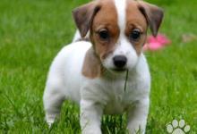 Inzercia psov: Luxusní vymazlená štěňátka Jack Russell terier s P