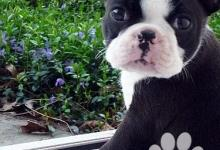 Inzercia psov: Nabídka Bostonský Teriér štenata