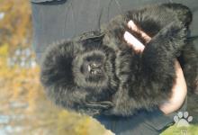 Inzercia psov: Štěně novofundlandský pes