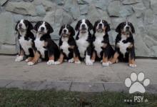 Inzercia psov: Velký švýcarský salašnický pes - štěňátka s průkaz