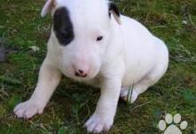 Inzercia psov: Prodám Mini Bulteriéra Stenata